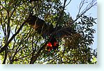 birds1_5294-c1-glossy-black-kakatoo.jpg