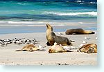 seals0_4983-m1-australian-sea-lion.jpg
