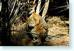 wallaby1_5247-m1.jpg