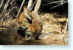 wallaby1_5258-m1.jpg