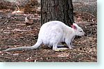 wallaby2_5096-c2m1-albino.jpg
